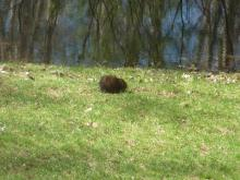 A muskrat in Stow, photographed by Cathy Leonard.