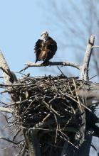 An osprey at Waseeka Wildlife Sanctuary in Hopkinton, photographed by Steve Forman.