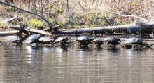 Painted turtles at Waseeka Wildlife Sanctuary in Hopkinton, photographed by Steve Forman.
