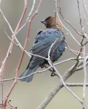 A brown-headed cowbird at Breakneck Hill Conservation Land in Southborough, photographed by Steve Forman.