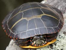 A painted turtle at Mass Audubon's Broadmoor Wildlife Sanctuary in Natick, photographed by Sharon Tentarelli.