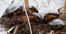 Painted turtles at Mass Audubon's Broadmoor Wildlife Sanctuary in Natick, photographed by Sharon Tentarelli.