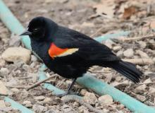 A red-winged blackbird at Hager Pond in Marlborough, photographed by Steve Forman.