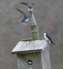 Tree swallows at Mass Audubon's Broadmoor Wildlife Sanctuary in Natick, photographed by Sharon Tentarelli.