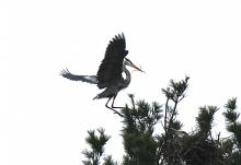 A great blue heron at SVT's Upper Mill Brook Conservation Area in Wayland, photographed by Robert Fuhro.
