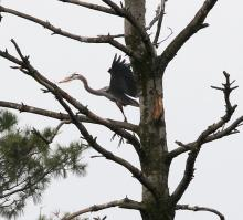 A great blue heron at the Sudbury Reservoir in Southborough, photographed by Steve Forman.