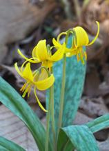 Trout lily at Garden in the Woods in Framingham, photographed by Joan Chasan.