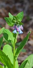 Virginia bluebells at Garden in the Woods in Framingham, photographed by Joan Chasan.