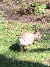 A cotton-tailed rabbit in Sudbury, photographed by Molly Bevan.