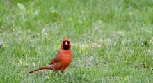 A northern cardinal in Maynard, photographed by Gail Sartori.