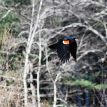 A red-winged blackbird in Maynard, photographed by Gail Sartori.