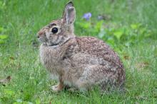 A cotton-tailed rabbit in Maynard, photographed by Gail Sartori.