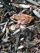 A wood frog in Marlborough, photographed by Geoff Reinhold.