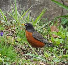 An American robin in Natick, photographed by Joan Chasan.