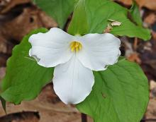 Large-flowered trillium at Garden in the Woods in Framingham, photographed by Joan Chasan.