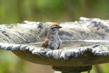 A chipping sparrow in Maynard, photographed by Gail Sartori.