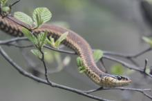 A common garter snake in a tree in Stow, photographed by Dan Foster.