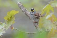 A white-throated sparrow at Great Meadows National Wildlife Refuge in Concord, photographed by Greg Dysart.