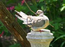 A mourning dove in Northborough, photographed by Sandy Howard.