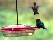 Ruby-throated hummingbirds in Lincoln, photographed by Harold McAleer.