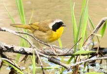 A common yellowthroat at SVT's Memorial Forest in Sudbury, photographed by Dan Trippe.