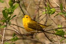 A yellow warbler at Assabet River National Wildlife Refuge in Sudbury, photographed by Dan Trippe.