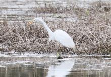 A great egret at Farm Pond in Framingham, photographed by Steve Forman.