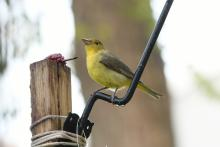 A scarlet tanager in Maynard, photographed by Gail Sartori.
