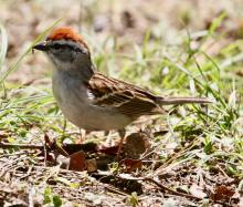 A chipping sparrow at Drumlin Farm in Lincoln, photographed by Steve Forman.