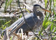 A great blue heron at Grist Mill Pond in Sudbury, photographed by Steve Forman.