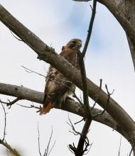 A red-tailed hawk at Great Meadows National Wildlife Refuge in Concord, photographed by Steve Forman.