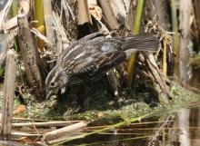 A female red-winged blackbird at Great Meadows National Wildlife Refuge in Concord, photographed by Steve Forman.