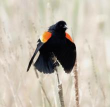 A male red-winged blackbird at Great Meadows National Wildlife Refuge in Concord, photographed by Steve Forman.