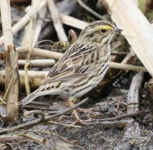A savannah sparrow at Great Meadows National Wildlife Refuge in Concord, photographed by Steve Forman.