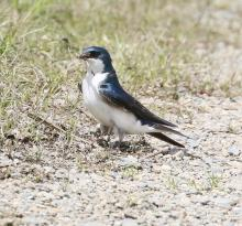 A tree swallow at Great Meadows National Wildlife Refuge in Concord, photographed by Steve Forman.