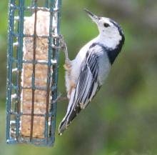 A white-breasted nuthatch at Drumlin Farm in Lincoln, photographed by Steve Forman.