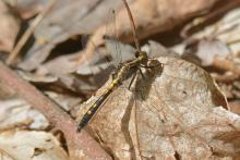 A dot-tailed whiteface dragonfly at SVT's Smith Conservation Land in Littleton, photographed by Greg Dysart.