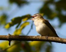 A red-eyed vireo at Assabet River National Wildlife Refuge in Sudbury, photographed by Dan Trippe.