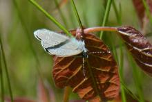 A silvery blue butterfly at SVT's Smith Conservation Land in Littleton, photographed by Greg Dysart.