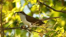 A black-billed cuckoo at Assabet River National Wildlife Refuge in Sudbury, photographed by Dan Trippe.