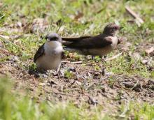 A northern rough-winged swallow (right) and a tree swallow at Grist Mill Pond in Sudbury, photographed by Steve Forman.