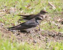 A northern rough-winged swallow (background) and a tree swallow at Grist Mill Pond in Sudbury, photographed by Steve Forman.