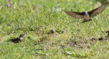 A northern rough-winged swallow (left) and a tree swallow at Grist Mill Pond in Sudbury, photographed by Steve Forman.