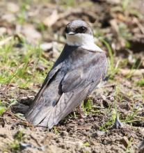 A tree swallow at Grist Mill Pond in Sudbury, photographed by Steve Forman.