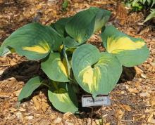 Thunderbolt hosta at Acton Arboretum, photographed by Joan Chasan.