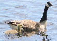 A Canada goose and gosling at Farm Pond in Framingham, photographed by Steve Forman.