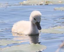 A mute swan cygnet at Farm Pond in Framingham, photographed by Steve Forman.