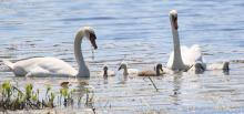 A family of mute swans at Farm Pond in Framingham, photographed by Steve Forman.