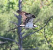 An osprey at Mass Audubon's Waseeka Wildlife Sanctuary in Hopkinton, photographed by Steve Forman.