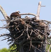 An osprey nest at Mass Audubon's Waseeka Wildlife Sanctuary in Hopkinton, photographed by Steve Forman.